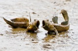 Mudskipper_duet